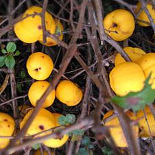 Coing citron Cido