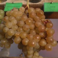 Vigne Exalta