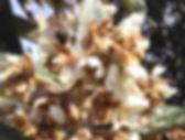 nefle japon fleur (1)_edited.jpg