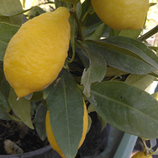 Citron 4 saisons Lunario