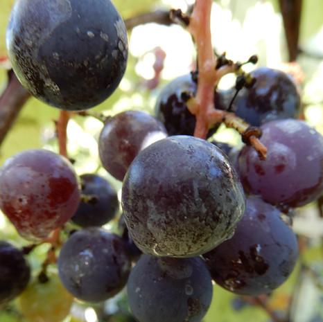 Vigne fraise Isabelle