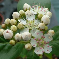 Aronia gros fruit Nero