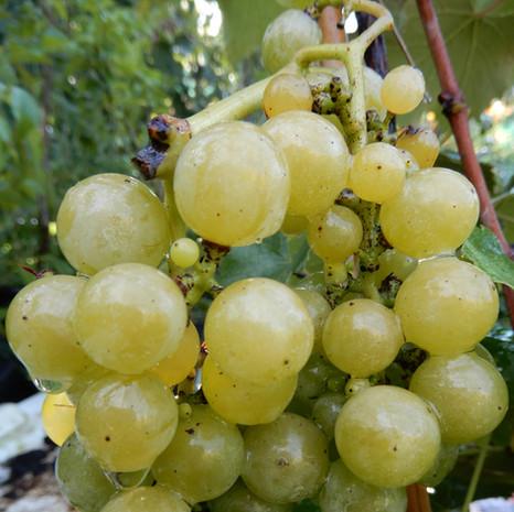 Vigne fraise Noah