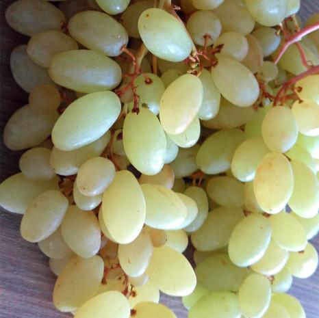 Vigne sans pépin Centennial