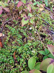 Creeping Snowberry vines