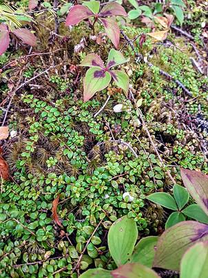 Creeping Snowberry vines