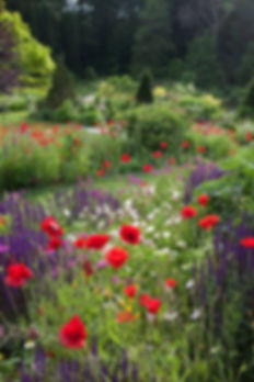 92671-Poppies-Salvia-Garden.jpg