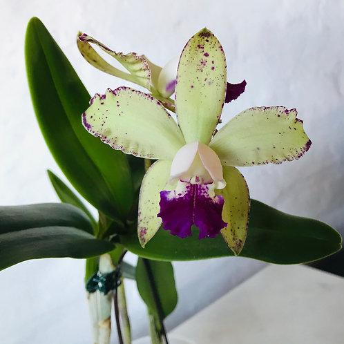 Cattleya Durigan x granulosa