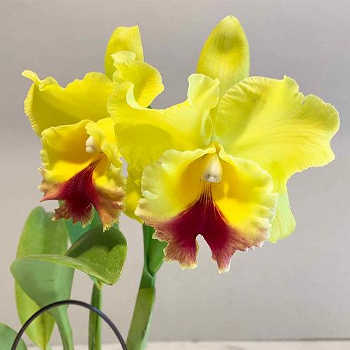 Rhyncholaeliocattleya (Rlc.) Marie Yellow Symphony
