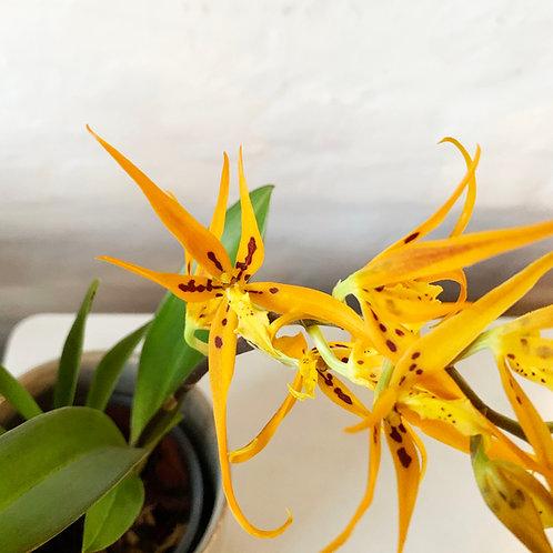 Brassia (Ada) aurantiaca