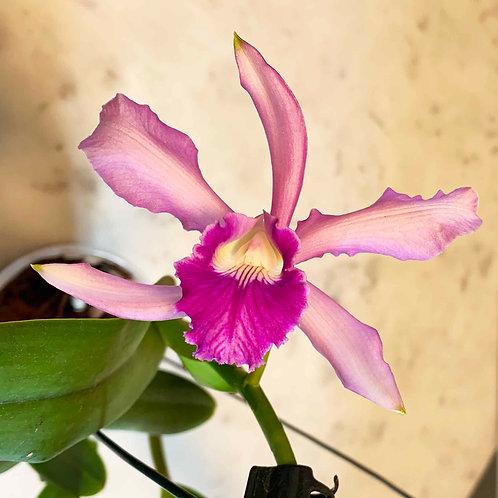 (Lc.) schilleriana x (C.) intermedia flamea x  (L.) purpurata sanguinea