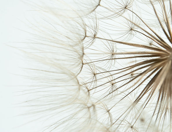 Close-up of dandelion seed.jpg