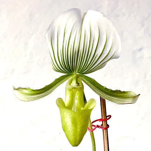 PaphiopedilumMaudiae green