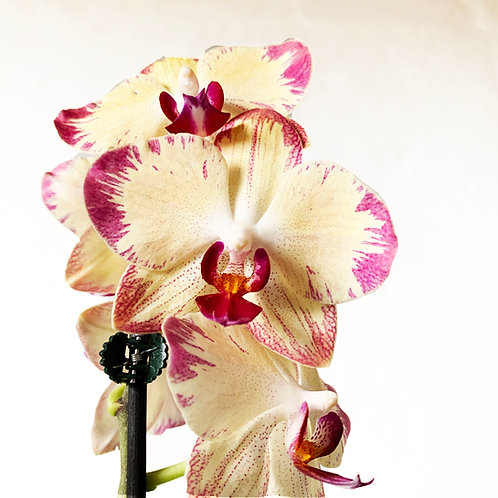 Phalaenopsis (Tonos Amarillos)
