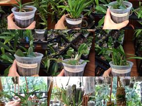 Orquídeas Minis