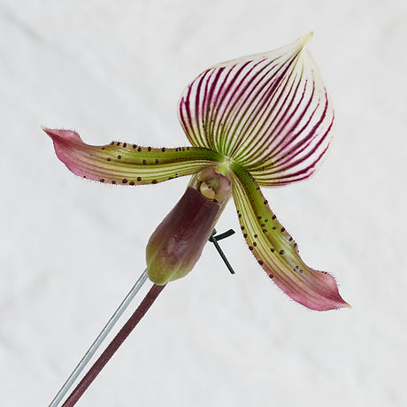 20200518_greenhouseorchid_0017.jpg