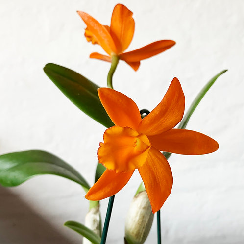 Brassolaeliocattleya (Blc.) Memoria Crispin Rosales