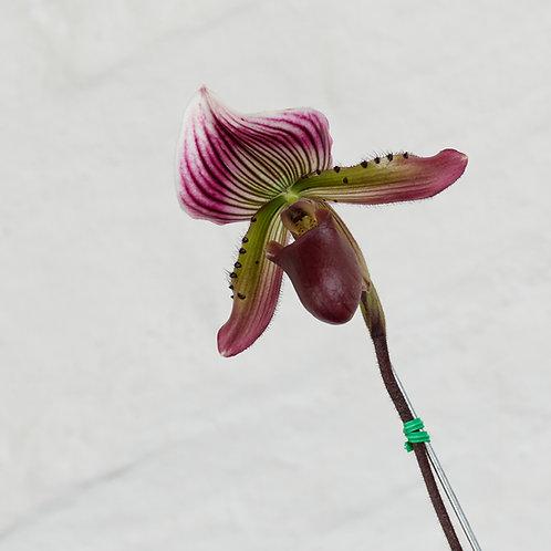 PaphiopedilumMaudiae red