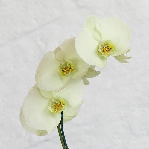 Phalaenopsis (Tonos Blancos/Crema)