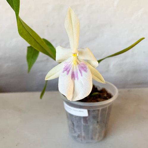 Miltonia spectabilis (Semi-alba)