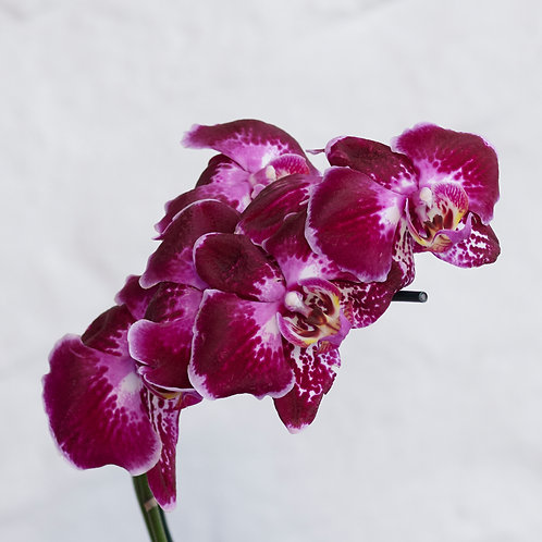 Phalaenopsis (Tonos Fuxia)