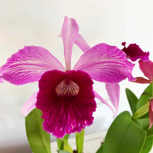 Laelia (L.) purpurata sanguinea