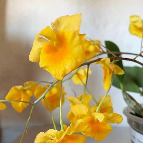 Dendrobium lindleyi var. majus