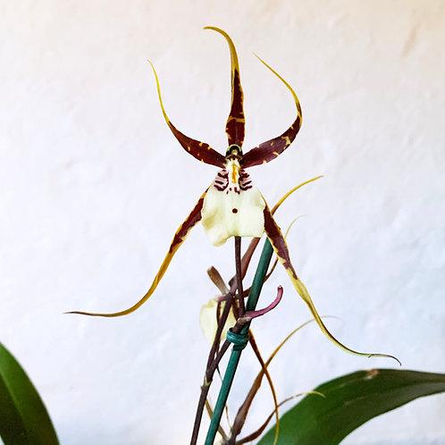BrassiaSpider Star
