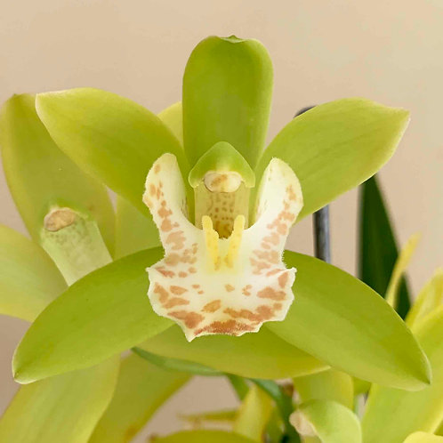 Cymbidium Green Sour