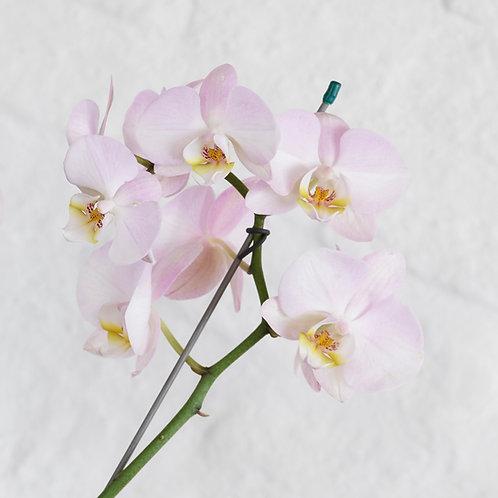 Phalaenopsis  (Tonos Rosados)