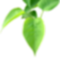 BGTransp_L_Lilac.leaves.arp.png