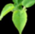 BGTransp_L_Lilac.leaves.arp.png
