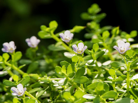 Bacopa Monnieri, a Nootropic that Boosts Brain Health and Function