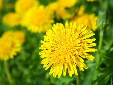 Eat the weeds: the amazing health benefits of Dandelion
