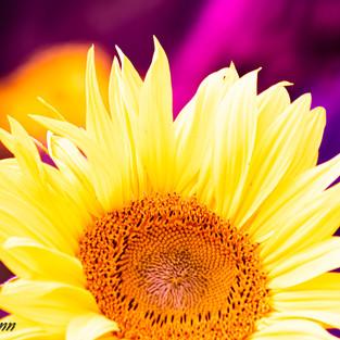 bright_yellow_sunflower_purple_set_1.jpg