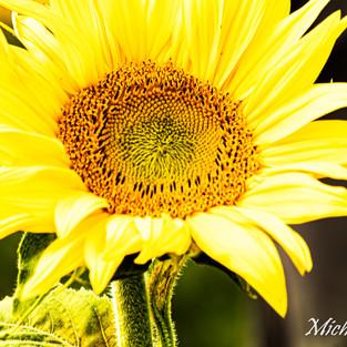 bright_yellow_sunflower_set_2.jpg
