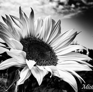black_white_sunflower_set_2.jpg