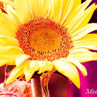 bright_yellow_sunflower_purple_set_2.jpg