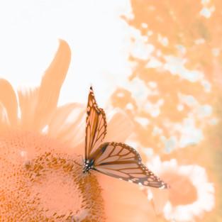orange_butterfly_sunflower.jpg