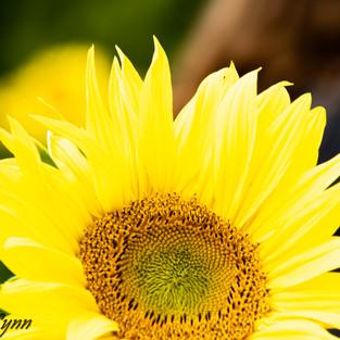 bright_yellow_sunflower_set_1.jpg