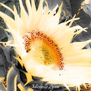 burst_of_light_sunflower.jpg