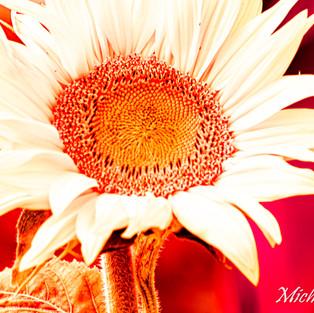 white_sunflower_red_set_2.jpg