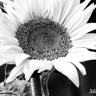 black_and_white_sunflower_set_1.jpg