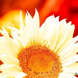white_sunflower_red_set_1.jpg