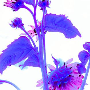 rose_mauve_sunflower_set_3.jpg