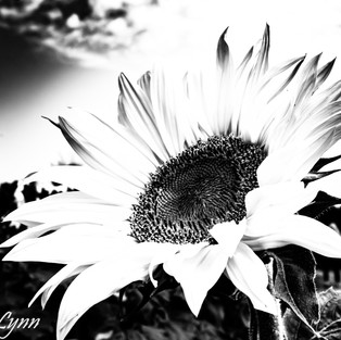 black_white_sunflower_set_1.jpg