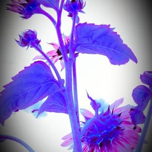 rose_mauve_sunflower_set_3_edited.jpg