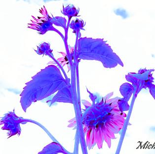 rose_mauve_sunflower.jpg