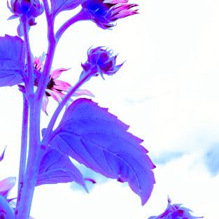 rose_mauve_sunflower_set_2.jpg