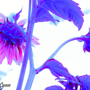rose_mauve_sunflower_set_1.jpg